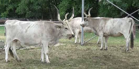 Magyar szürke szarvasmarhák a kiállításon